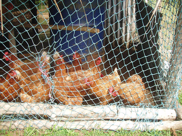 Imported breed of chickens that families in Yap are raising for eggs.