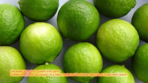 Lime is a valuable crop.