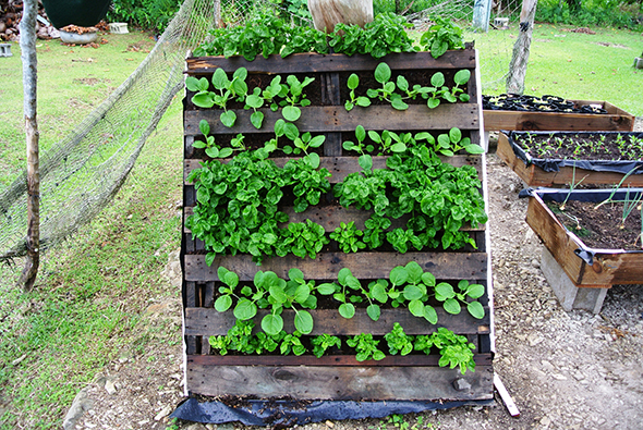 Vertical planter from repurposed pallets.