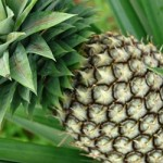 USDA-NIFA approved second multi-state/site research project on pineapple for Micronesia
