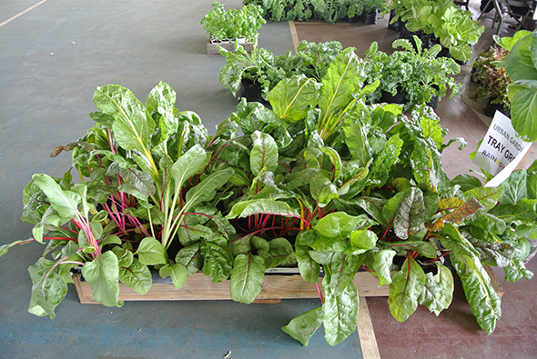 Rainbow Chard in wooden grower.