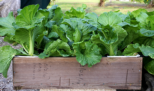 Chinese cabbage in grow box 590-350