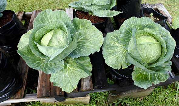 Head cabbages in polybags_1 590-350