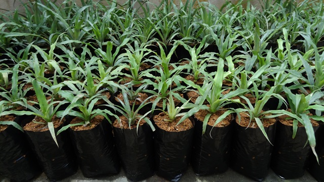 Acclimatized pineapple plants ready for field transfer.