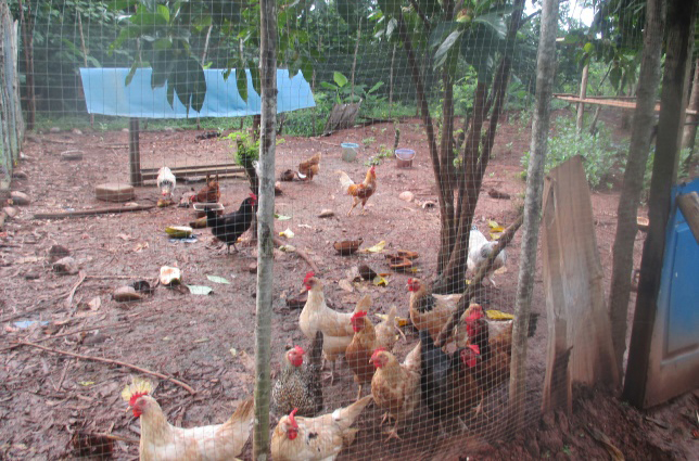 A typical backyard chicken farm for the family; a fenced area to provide protection and space for birds to range and makeshift shelters for roosting, nesting, waterer and feeders.