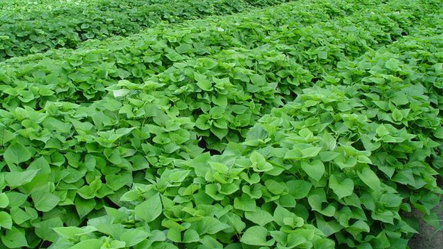 salt-tolerant-sweet-potato-in-field-for-evaluation