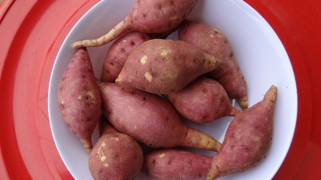 Selected salt-tolerant-sweet potato germplasm - cultivar 2.