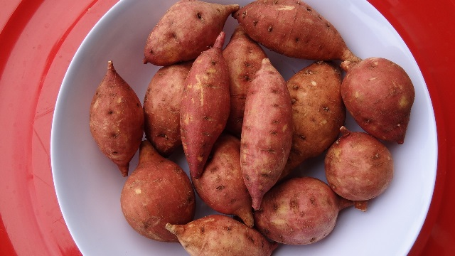 Selected salt-tolerant-sweet potato germplasm - cultivar 3.
